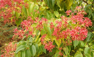 Heptacodium closeup
