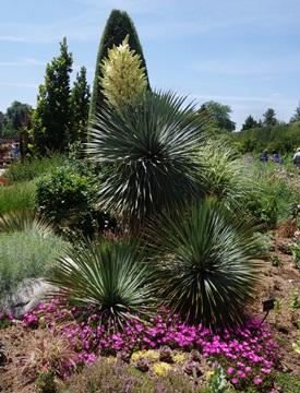 Yucca rostrata in Yuccarama at Denver Botanic Gardens