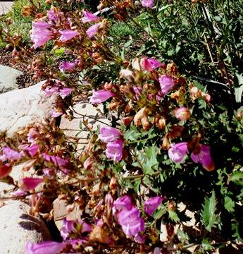 Penstemon richardsonii v. dentatus