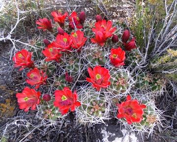 Echinocereus gonacanthus 1