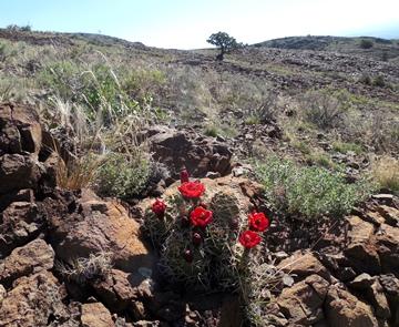 Echinocereus gonacanthus 2