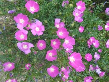 Callirhoe tenuissima 2
