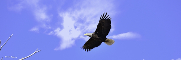 Bald eagle soaring at Plains Conservation Center in Aurora, CO. Photo by Fendi Despres.