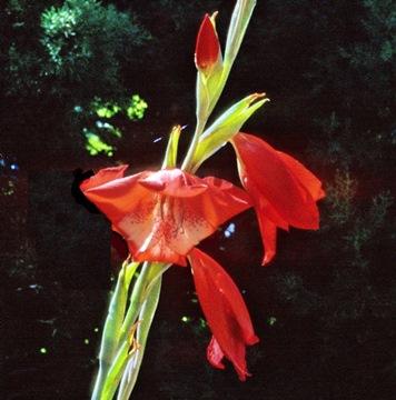 Gladiolus saundersii