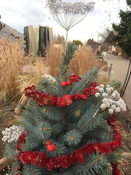 A tiny Colorado spruce fit for woodland creatures