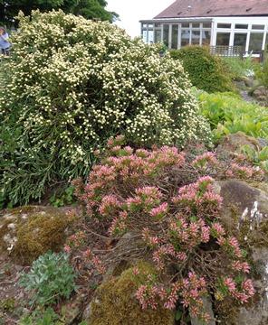 Daphne dominii and Helichrysum selago