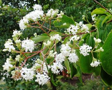 Heptacodium flowers