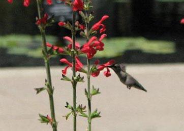 Hummingbird feeding on Salvia darcyi in the Plant Select Garden.