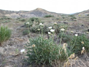 Sclerocactus glaucus habitat