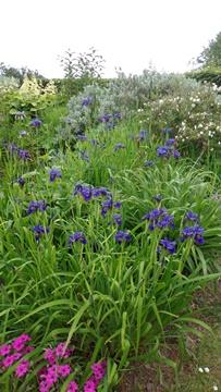 Iris clarkei and vista