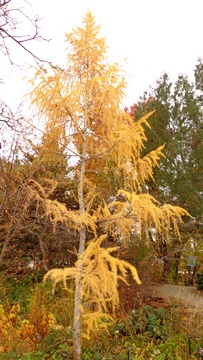Plantasia larch