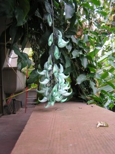 Strongylodon macrobotrys, the jade vine, as one infloresence finishes.