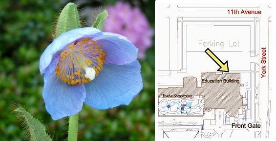 image and location of Meconopsis 'Lingholm'