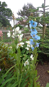 Meconopsis in blue and white