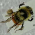 Bee collected on Sclerocactus glaucus
