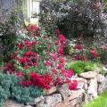 Jackie Carpet rose
