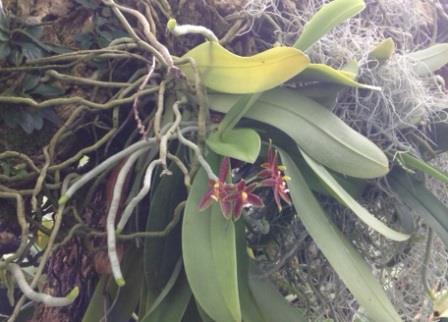 Mounted Phalaenopsis