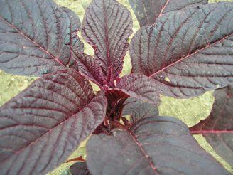Amaranth (Amaranthus cruentus)