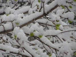 A street tree, likely a hybrid, shows the its bloom under the snow.
