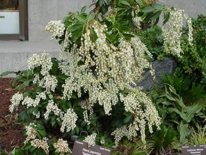 Pieris japonica 'Spring Snow'