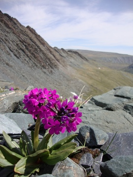 Primula nivalis on summit of pass in Mongolia