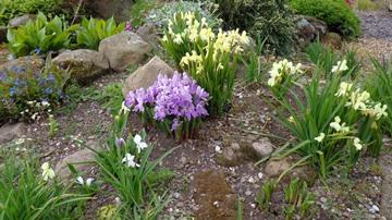 Roscoeas growing at Lamberton