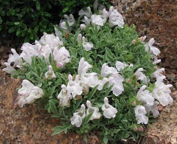 Salvia caespitosa