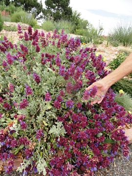 Salvia pachy