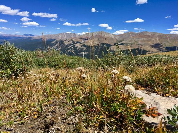 Saussurea weberi at Hoosier Pass