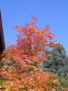 Vine Maple (Acer circinatum) in Colorado Springs