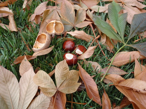 Ohio buckeye (Aesculus glabra) leaves and fruit