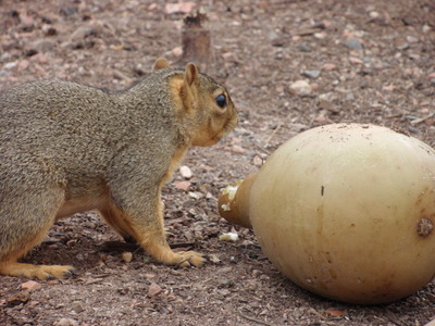 Squirrel eating gourd from sacred Earth