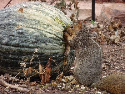 Squirrel eating squash from Sacred Earth