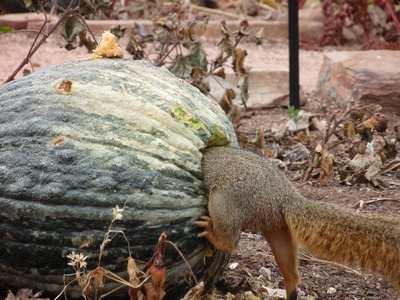 Squirrel inside squash in Sacred Earth