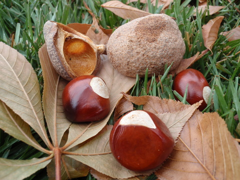 Fruit and fruit shells of Ohio buckeye (Aesculus glabra) - the shells are not spiny like Horse Chestnut (Aesculus hippocastanum).
