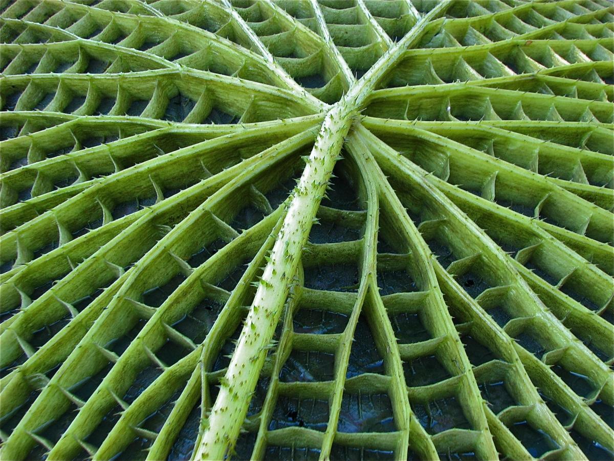 Victoria leaf