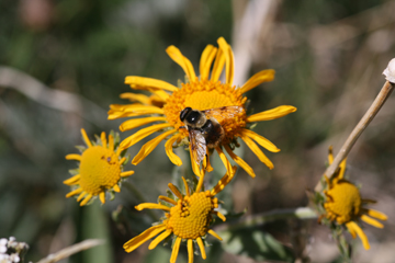 Bumblebee on hymenoxys hoopesii