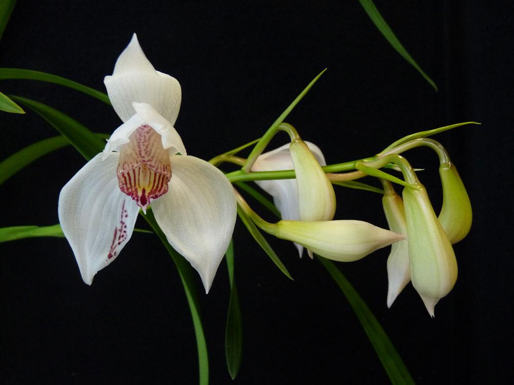 Cymbidium Erythrostylum Orchids In The Greenhouse Denver