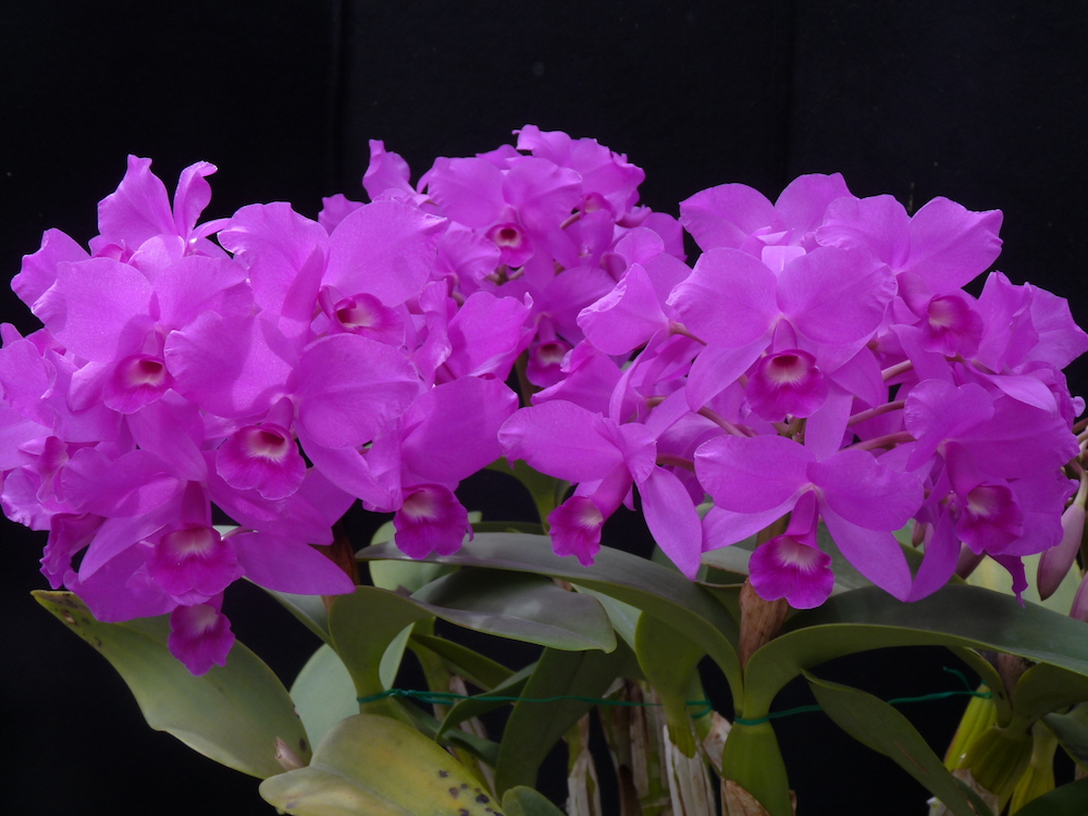 No Hot Water >> Guarianthe Orchids in the Greenhouse   Denver Botanic Gardens