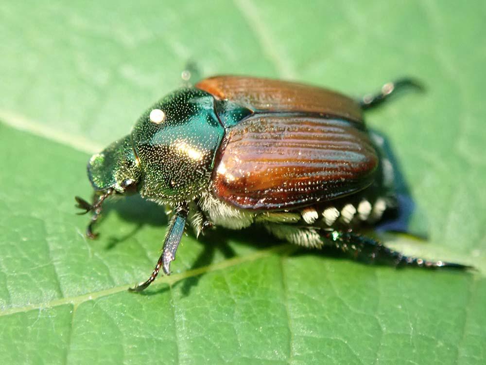 Japanese Beetle Biological Control Release Denver